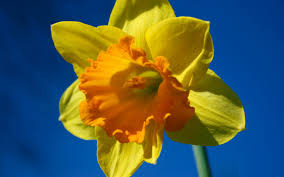 Worthy Grand Matron Flower the Daffodil